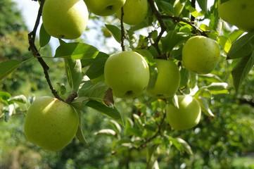 リンゴの木(王林)