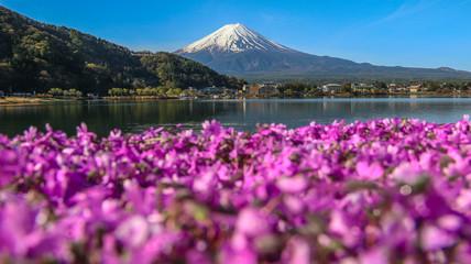 Mountain Fuji at Kawaguchiko lake  with shiba sakura flowers in spring season.
