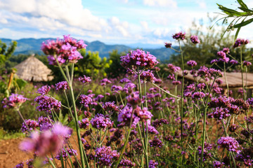selective focus of Verbena bonariensis flower on the mountain in Mae jam,Chiangmai ,Thailand.