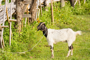 Goat in paddy field.Thailand.