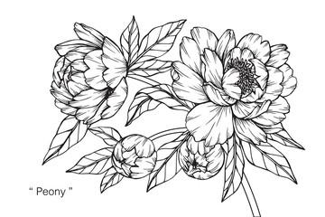 Peony flower drawing.