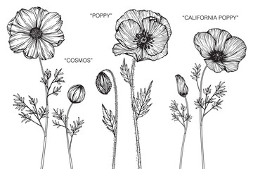 Cosmos, Poppy, California poppy flower drawing.