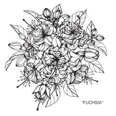 Bouquet of fuchsia flowers drawing.