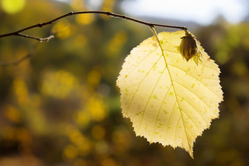 colorful autumn background hazel on a branch with a yellow leaf, Crimean nature in October