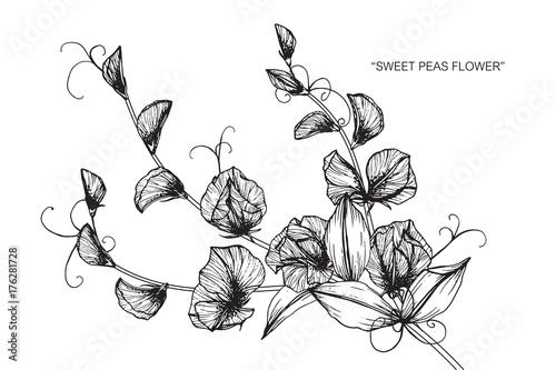 Line Art Flower Drawing : Sweet pea flowers drawing and sketch with line art on white
