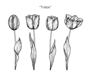 Tulip flower drawing.