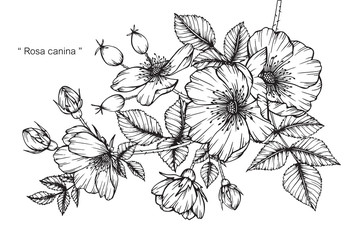 Rosa canina flower drawing.