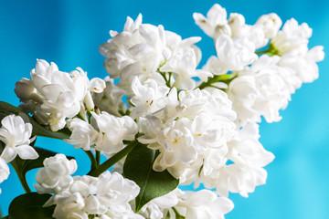 Beautiful white lilac on blue