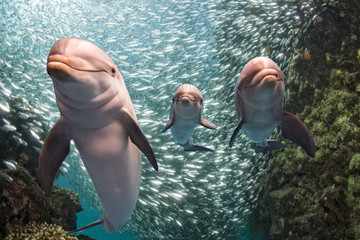three dolphins underwater on reef close up look