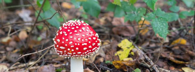 Red Toadstool, poisonous mushroom, (Amanita muscaria).