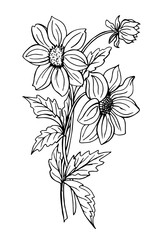 Dahlias, black-and-white contour drawing.
