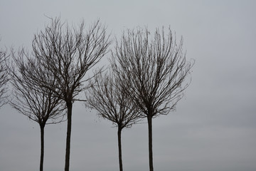 silhouette of young ornamental trees without leaves