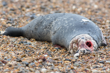 Horrific carcass of a grey seal. Decomposing zombie looking body of a dead marine animal.