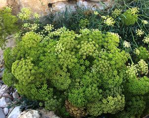 Crithmum maritimun en fleur à divers stades d'épanouissement