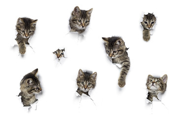 Cats in holes of paper, little grey tabby kittens peeking out of torn white background, eight funny playing pets
