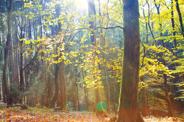 Autumn German forest with sun beam.