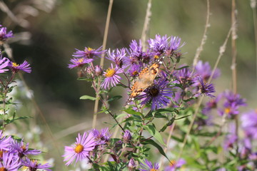 Painted Lady Butterfly ( Vanessa cardui ) on New England Aster at the end of the summer.    season.
