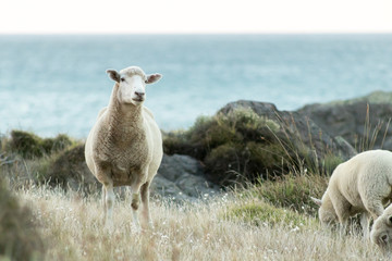 NZ Sheep By Ocean