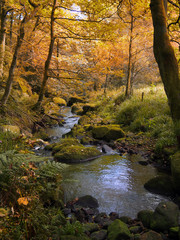 golden autumn woodland with autumn forst trees with a stream running though the center with green rocks in crimsworth Dean near Hebden Bridge in West Yorkshire