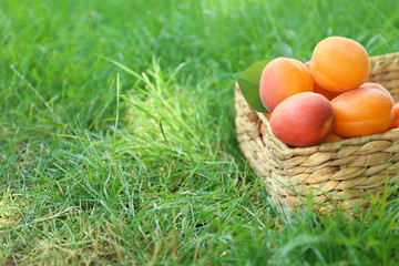 Wicker basket with fresh apricots on grass