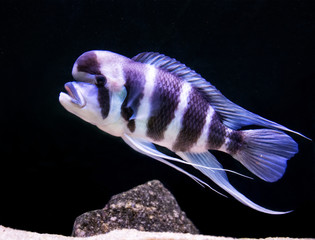 Cyphotilapia Frontosa is the Jewels of Rift Lakes of Africa. This predator from depths of Lake Tanganyika is a giant. It resides at greater depths, 30 – 50 meters sub-surface. Can live over 25 years