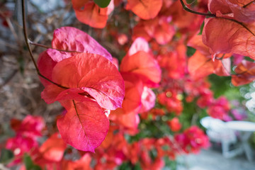 Red Leaves in Garden with Table and Chairs in Background