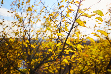Tree with yellow leaves in bright autumnal landscape.