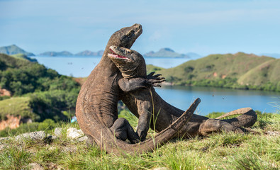 The Fighting Comodo dragon (Varanus komodoensis) for domination. It is the biggest living lizard in the world. Island Rinca. Indonesia.