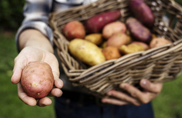 Hands holding potatoes on the basket organic produce from farm Wall mural