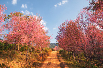 Romantic road with Cherry blossom full bloom in winter and blue sky background.