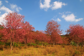 Beautiful Cherry blossom full bloom in winter and blue sky background ,Loei,Thailand.