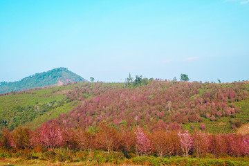 Landscape natural of beauty of cherry bloosom in Thailand.