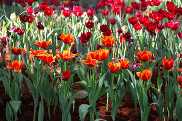 Beautiful tulip flowers  in the garden.
