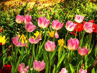 Colorful tulip flowers  in the garden in sunny day.Spring concept.
