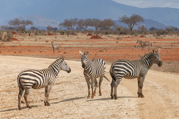 Group of zebras standing on the road.