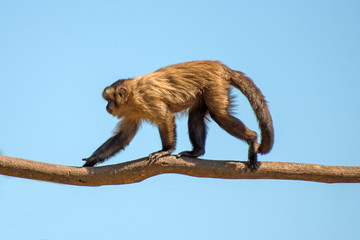 Monkey walking along the tree trunk. Place for text.