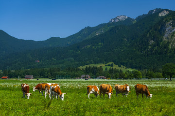 Wall Mural - Cows grazing on a green Alpine meadow at sunny day