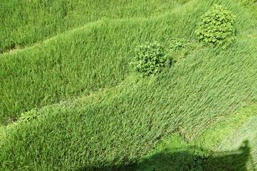 Bright green wavy grass