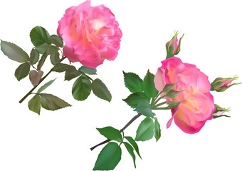 two lush pink roses isolated on white