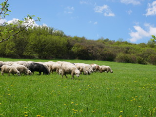 Flock of sheep grazing. Sheeps on mountain meadow