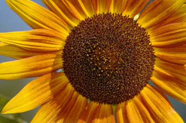 Blütenstand der Sonnenblume