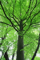 Trunk and Foliage of beech tree in spring