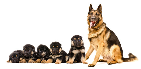 German Shepherd dog, sitting with puppies, isolated on white background