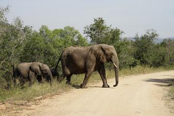 African Elephant Kruger National Park