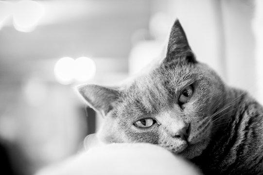 Portrait noir et blanc d'un chat chartreux