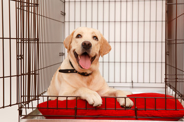 Dog in cage. Isolated background. Happy labrador lies in an iron box