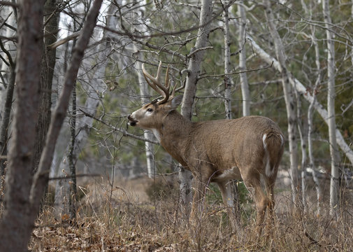 White-tailed deer buck in the forest during the rut in Ottawa, Canada