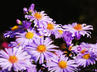 Purple aster flowers over dark background (Aster amellus)
