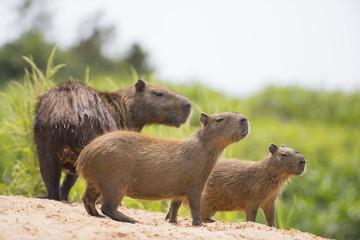 Wasserschweine wittern Gefahr