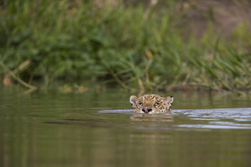 Jaguar schwimmt im Fluss